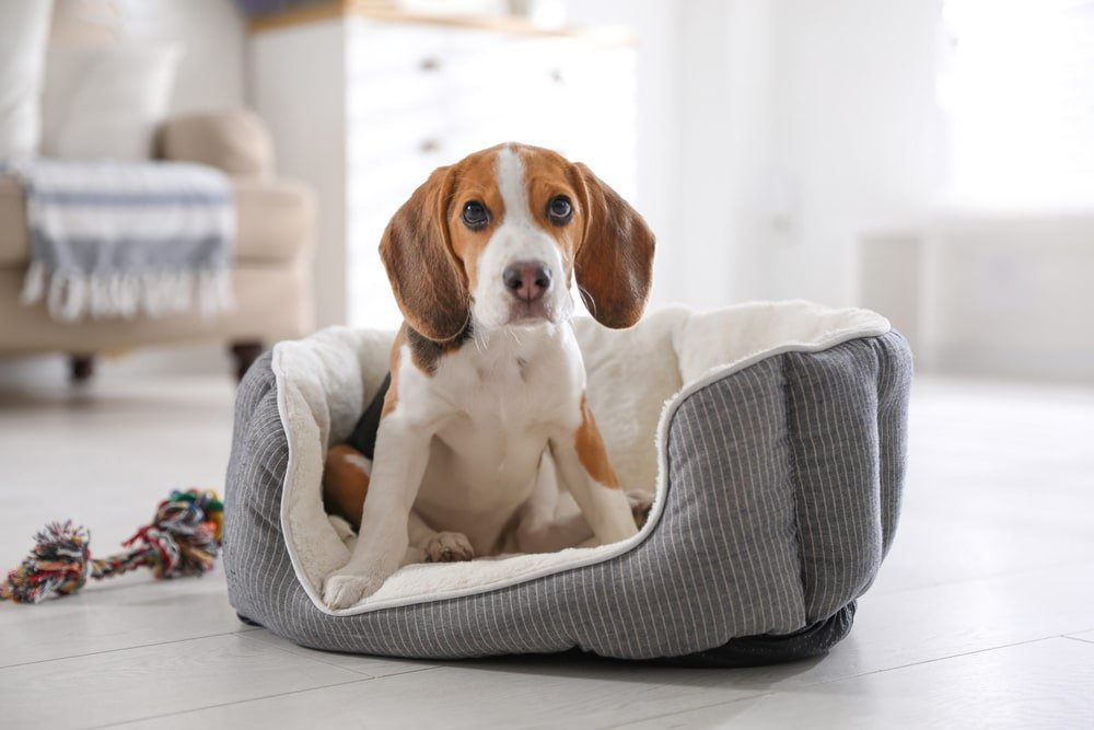 A beagle sitting peacefully in his bed