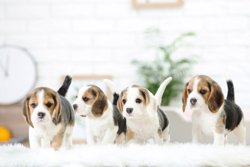 A group of puppies