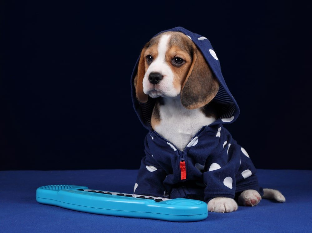 A beagle wearing clothes