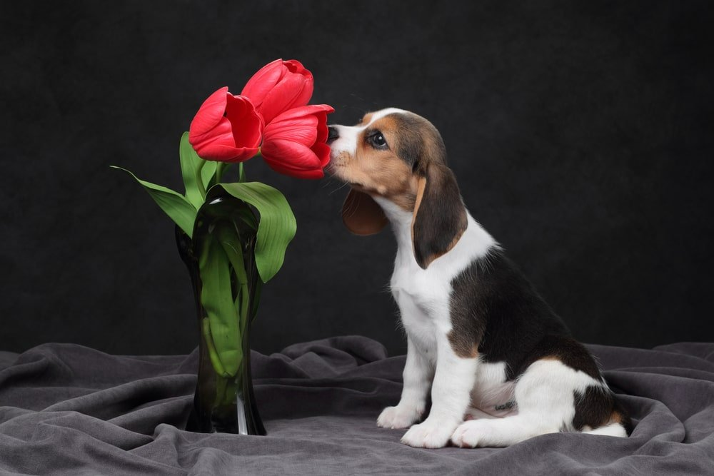 A beagle sniffing tulips
