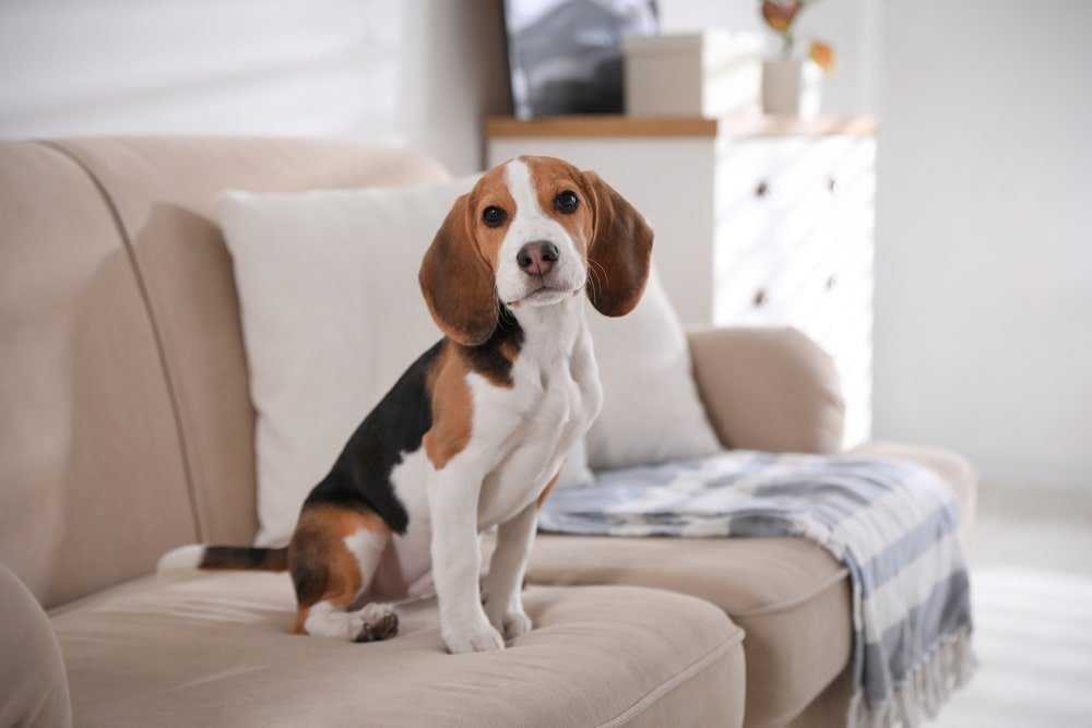 A beagle sitting on the couch