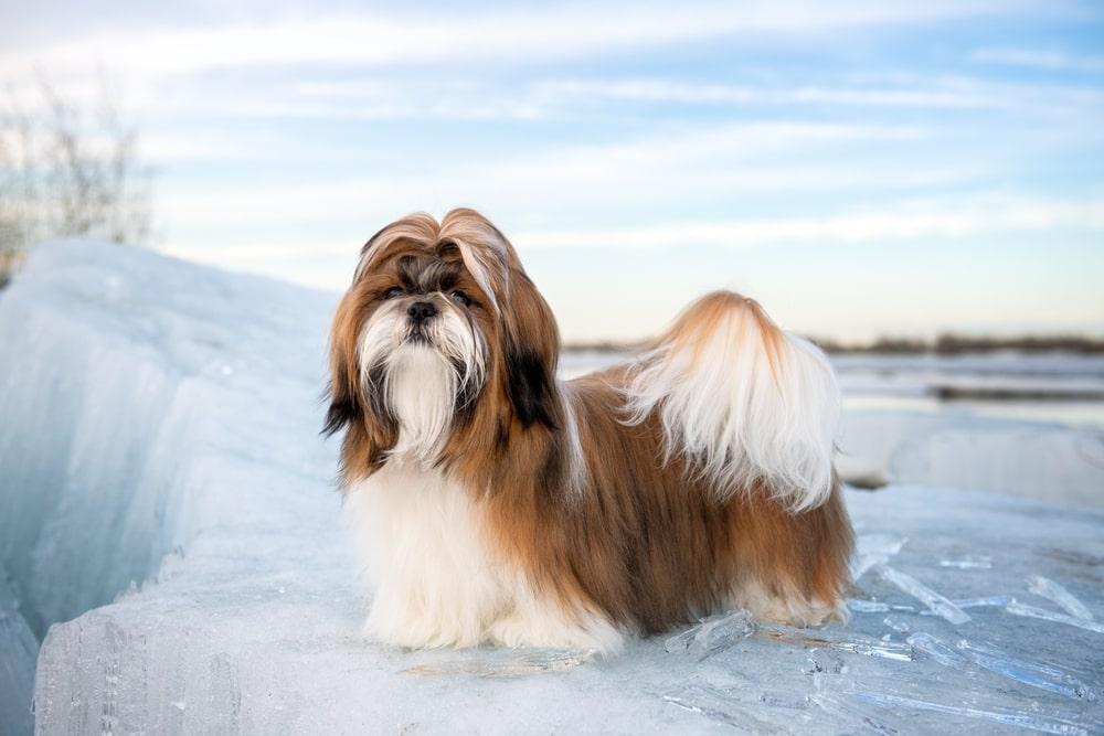 A Pomeranian running in a garden
