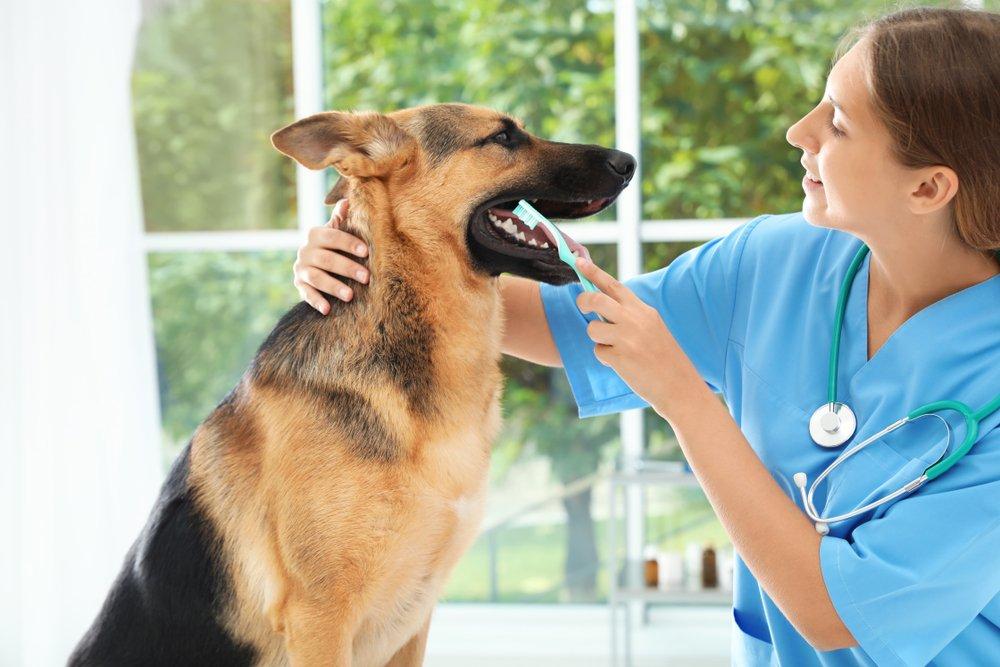 Dog examination by vet