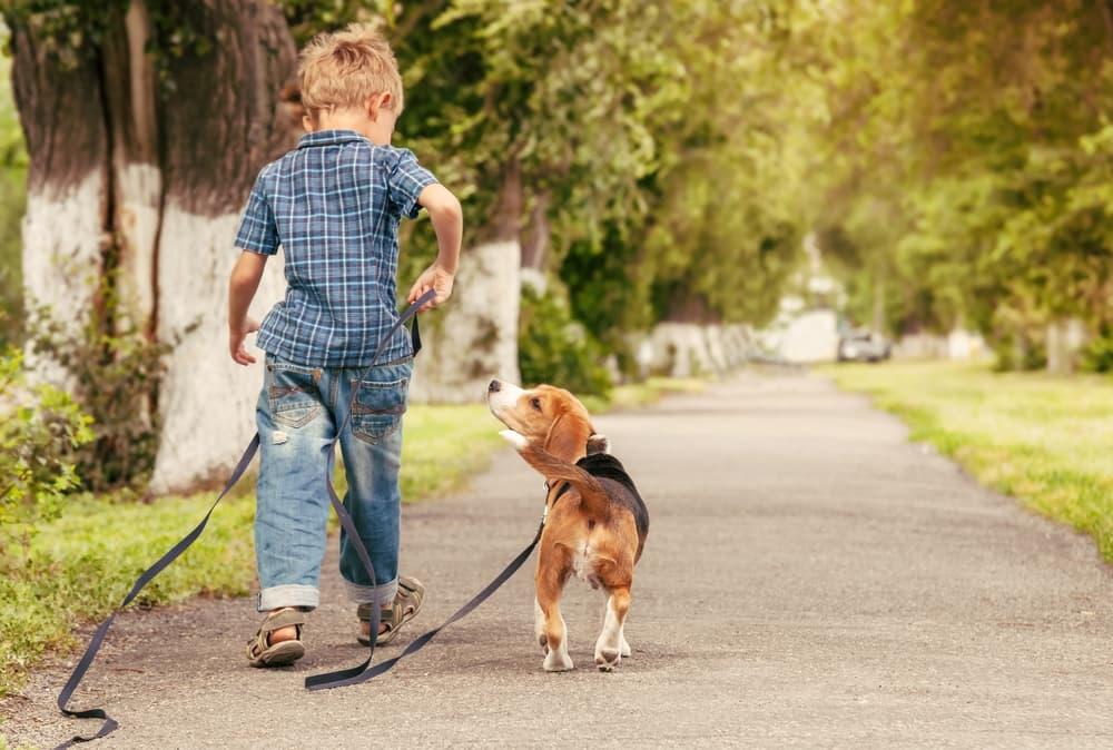 Boy Walking a Beagle