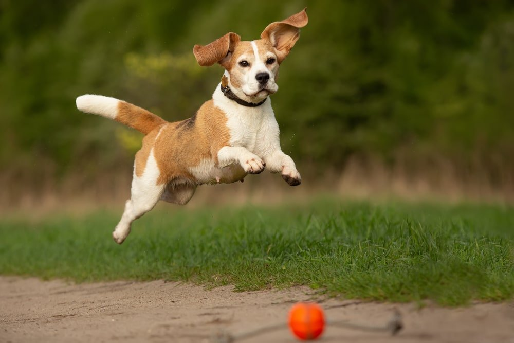 Beagle Jumping in the Park
