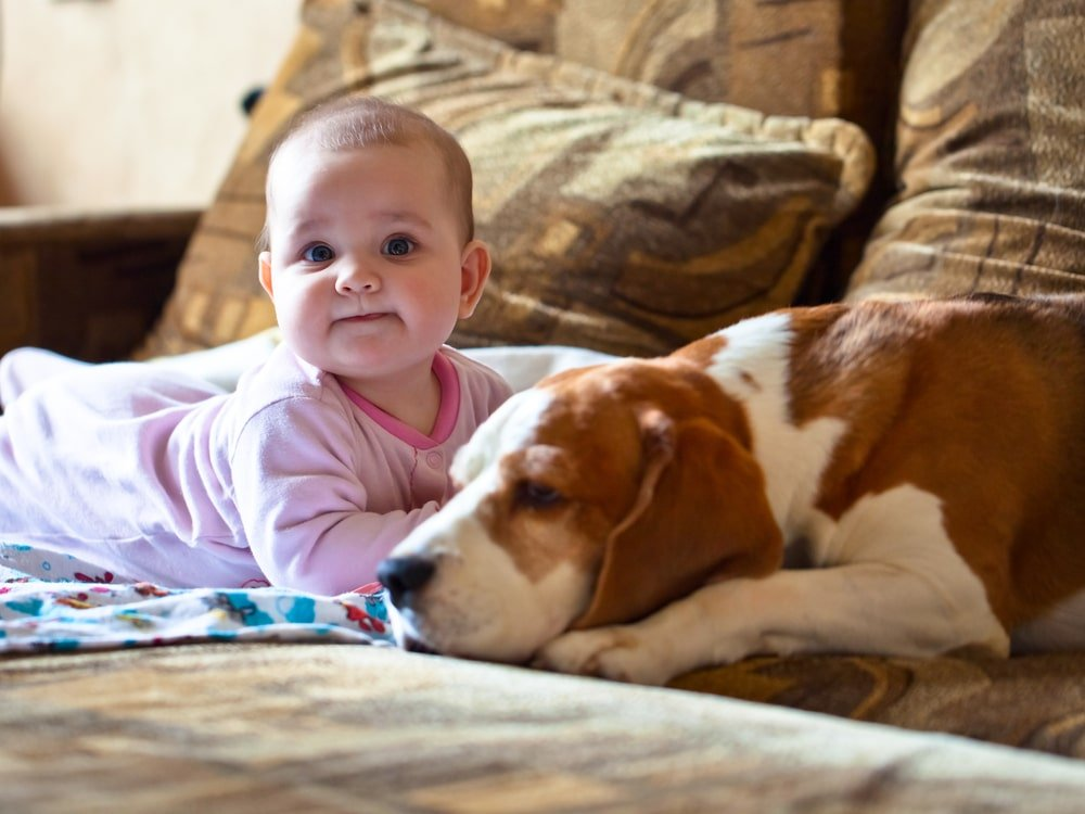 Baby Sitting with a Beagle