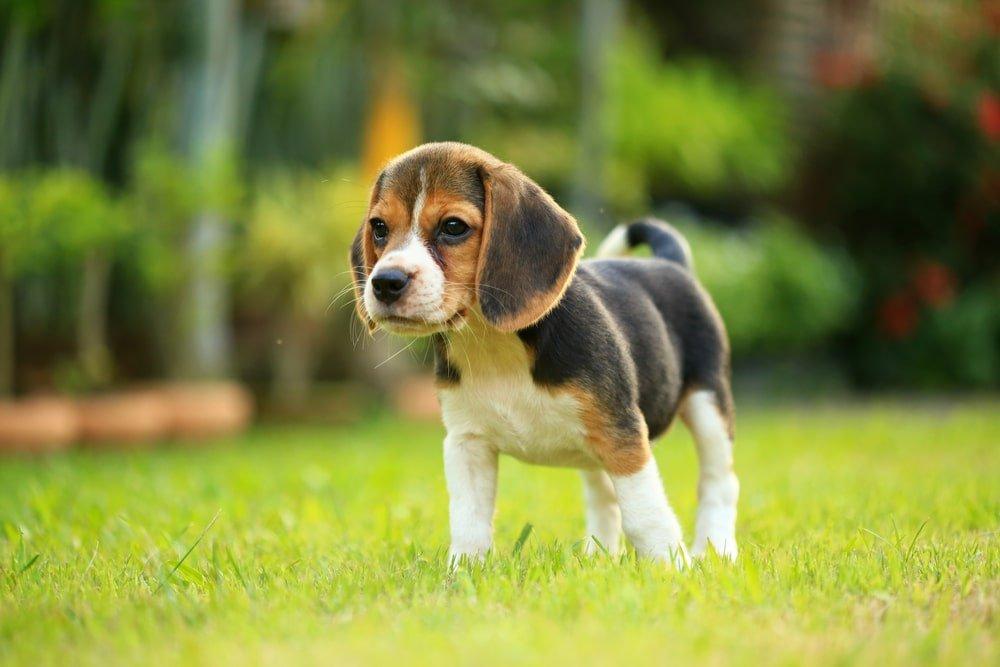 A beagle puppy in the garden