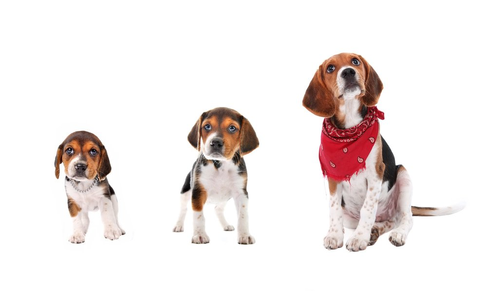Beagles at Different Stages of Growth
