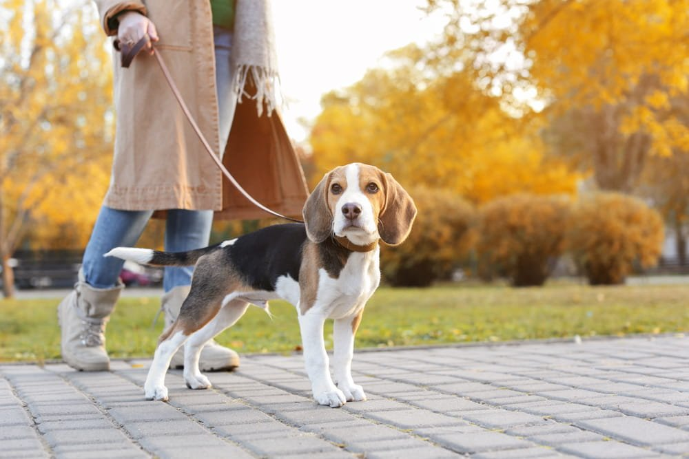 Beagle with its Owner