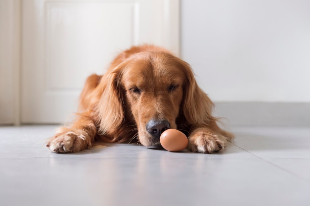 A dog with an egg in front of him