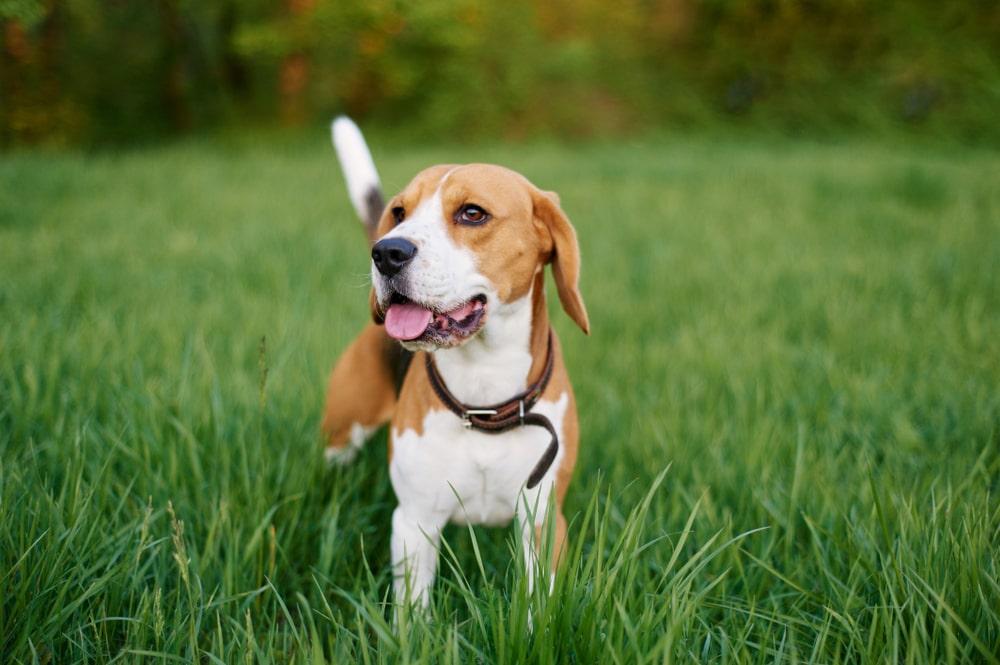 A pocket beagle looking upwards
