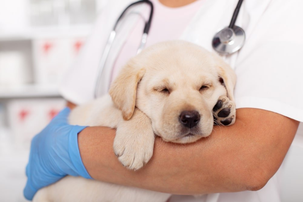 A puppy getting his vaccine shots