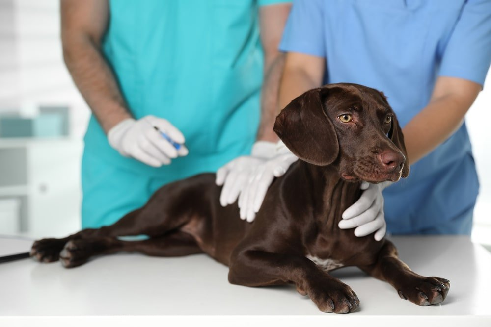 A dog getting vaccinated