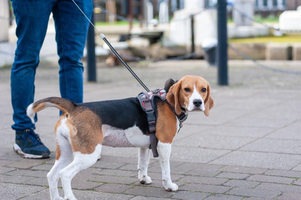Beagle Standing on a Leash