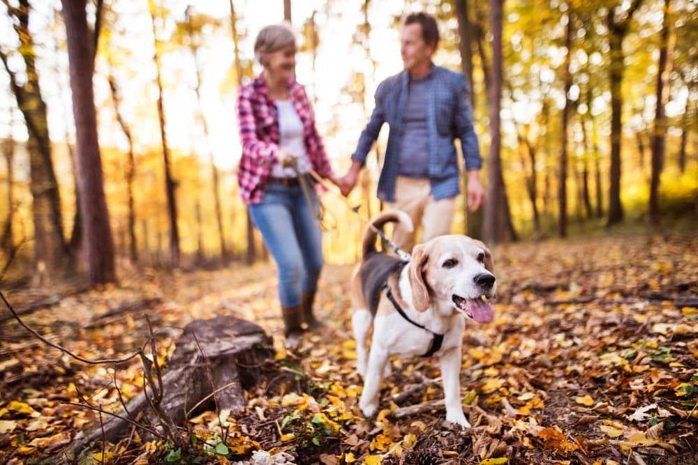 Couple Walking a Beagle