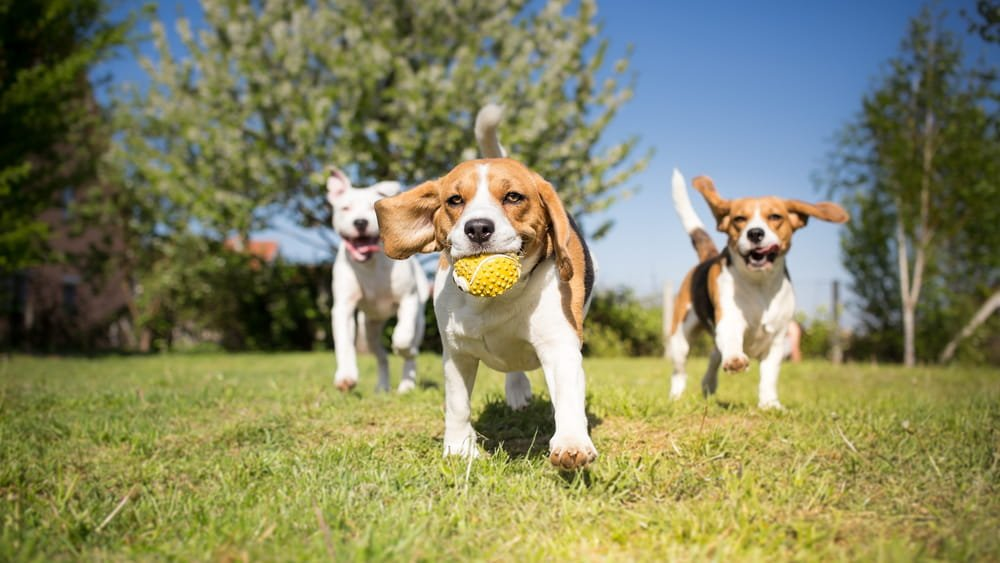 Beagle Running in a Park