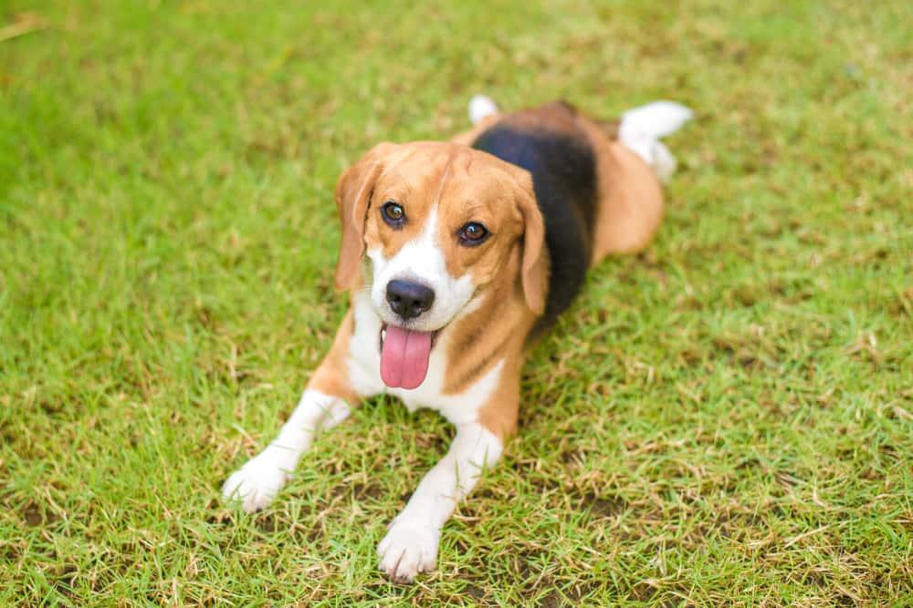 Beagle Sitting Down in Grass