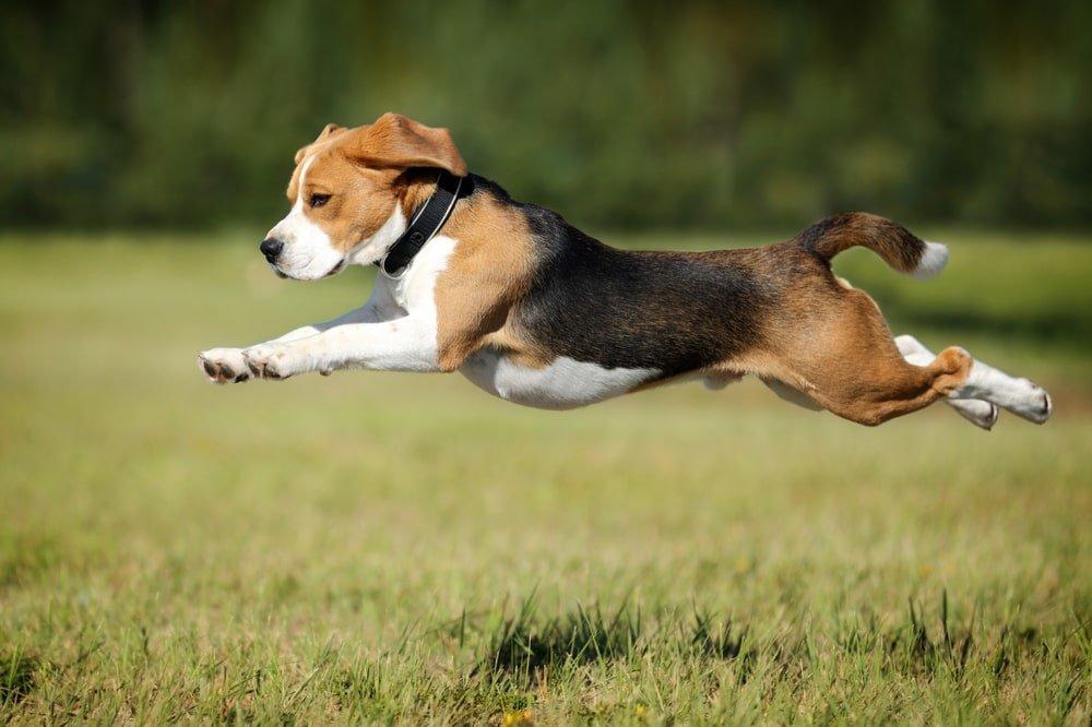 Beagle Running Fast