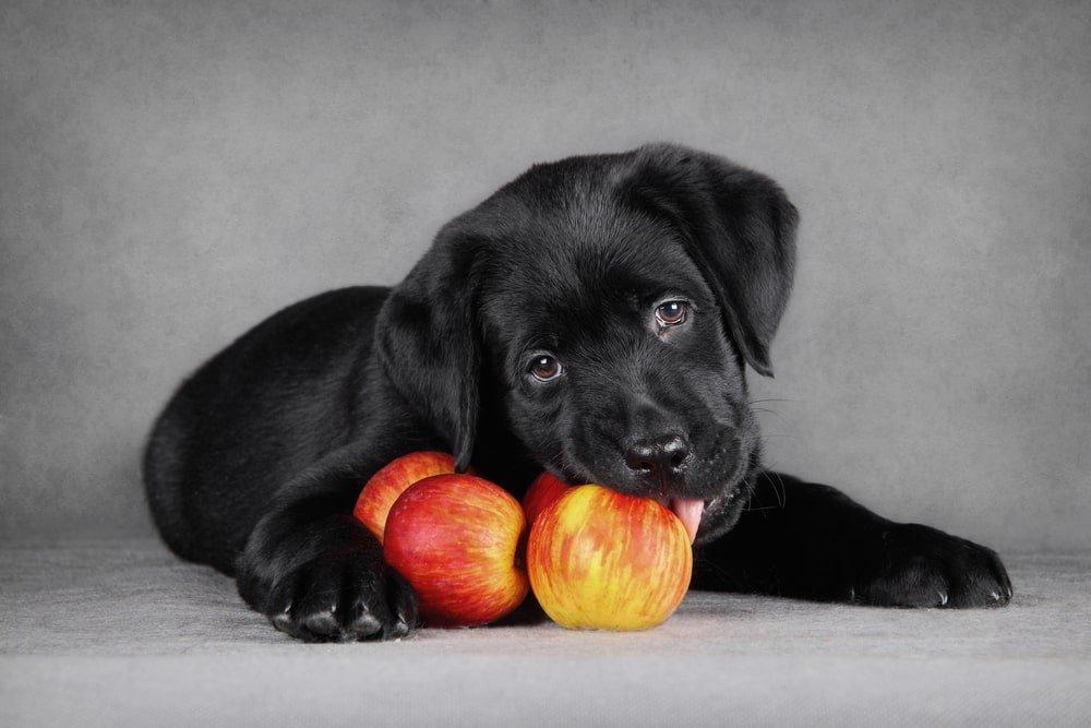 Dog Biting into Apples