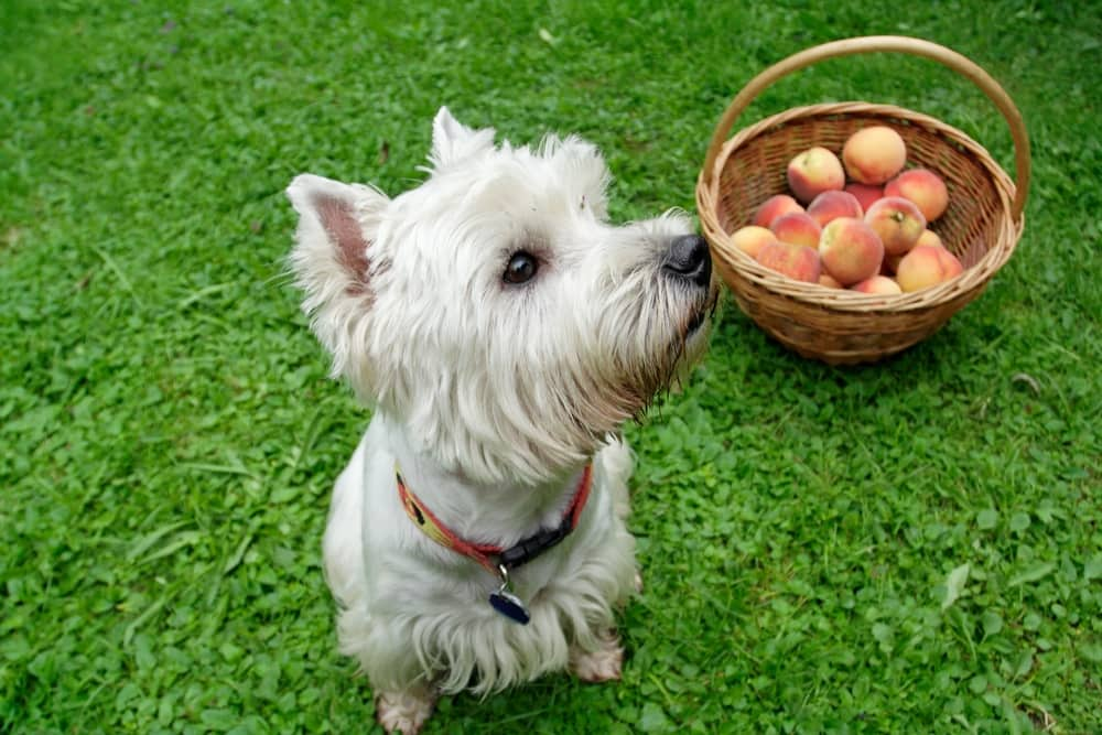Dog Sitting Beside a Basket of Peaches