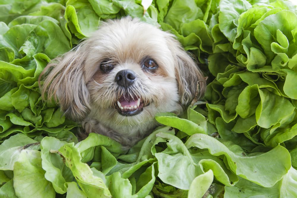 Dog Sitting Between Spinach Leaves
