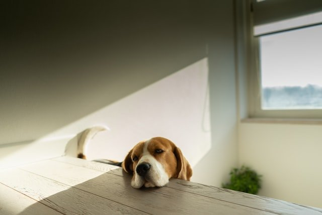 beagle lying against the table