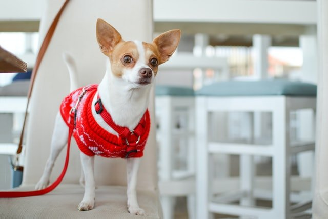 chihuahua dog standing near the table