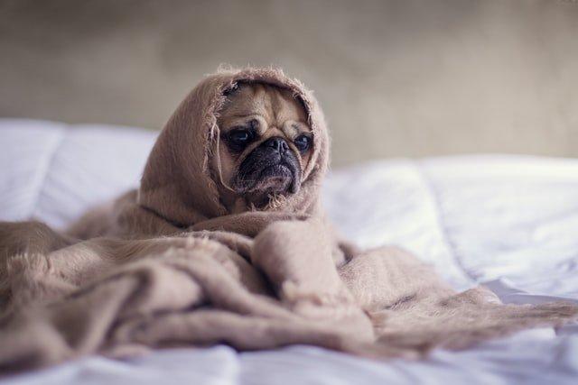 small dog breeds- pug