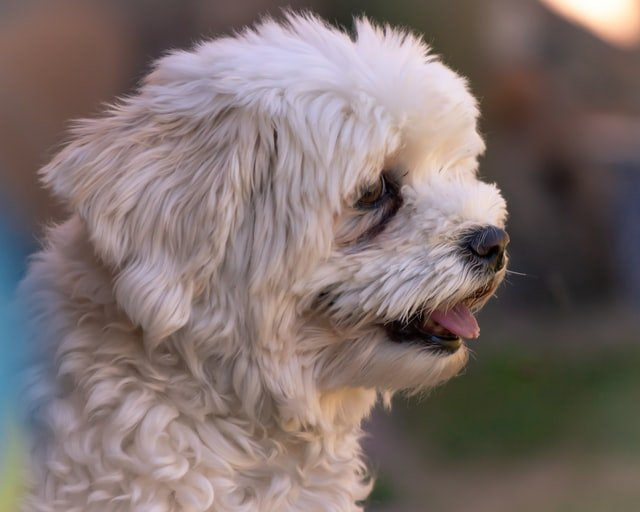 havanese breed of dogs