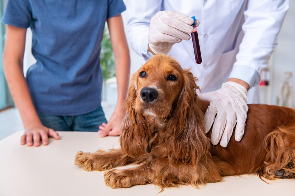 cocker spaniel at the clinic