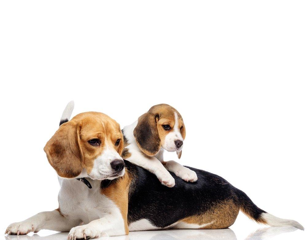 puppy sitting on a beagle