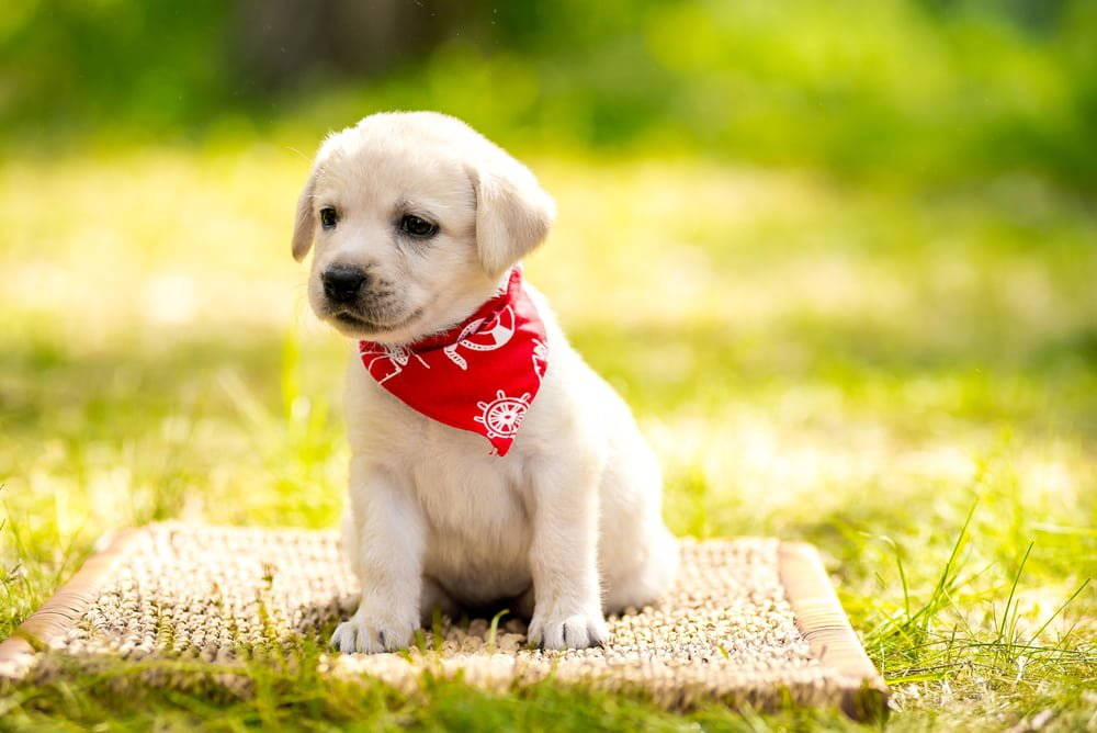 lab puppy with his scarf in a park